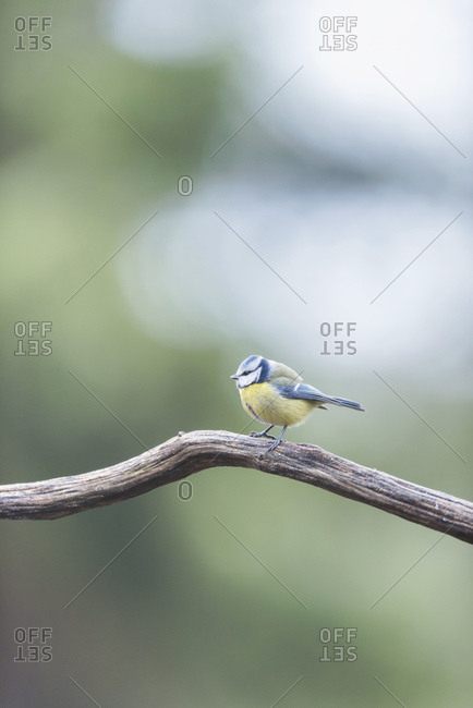 Great tit bird perched on a tree branch