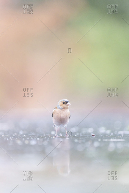 Male common chaffinch reflecting in water