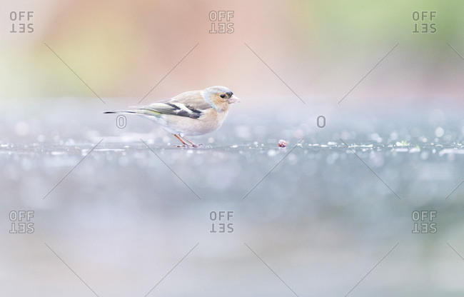Male common chaffinch on ground