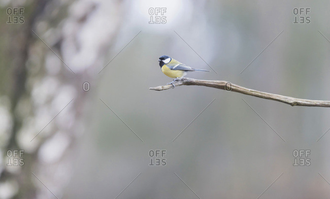 Great tit bird on a tree branch