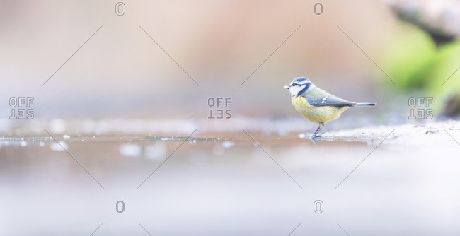 Great tit bird on wet ground