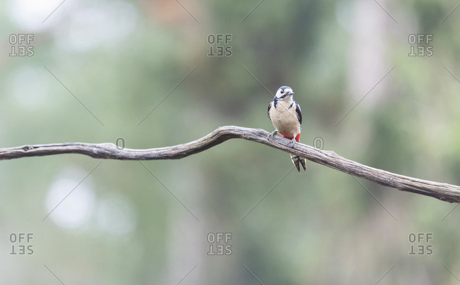 Great spotted woodpecker perched on a tree branch