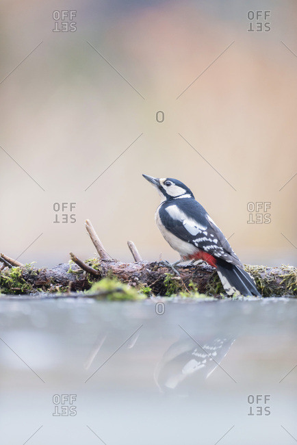 Great spotted woodpecker reflecting in water