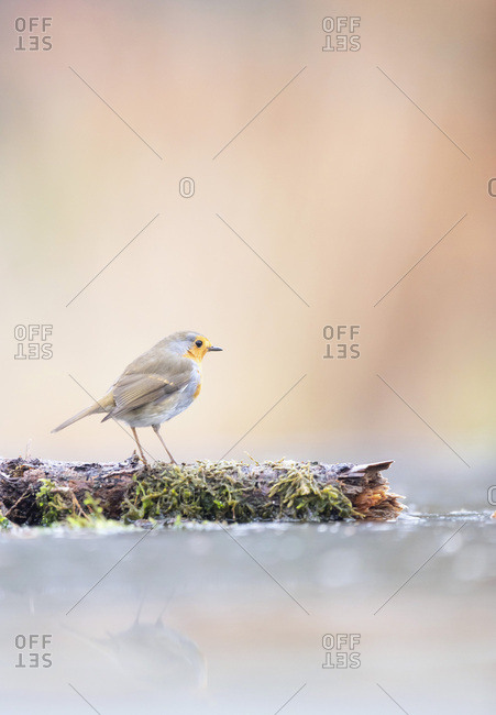Robin red breast bird on a log