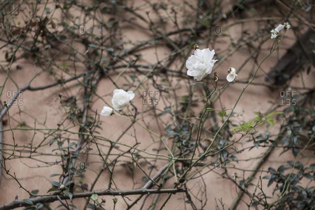 White roses growing