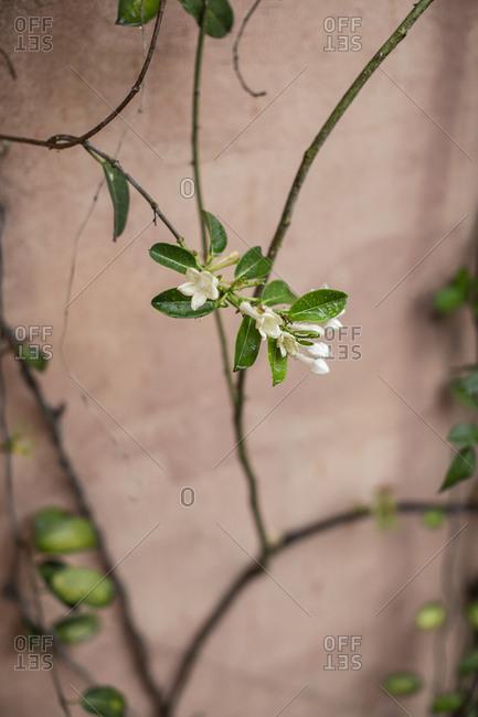 White blossoms on a vine