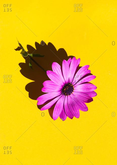 A purple calendula on a yellow background
