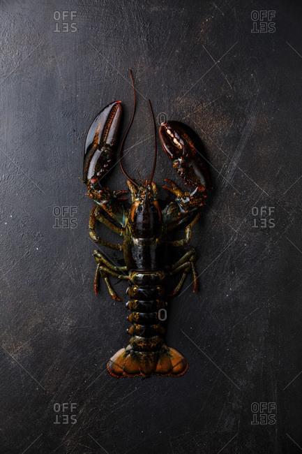 Fresh raw live Lobster on black background