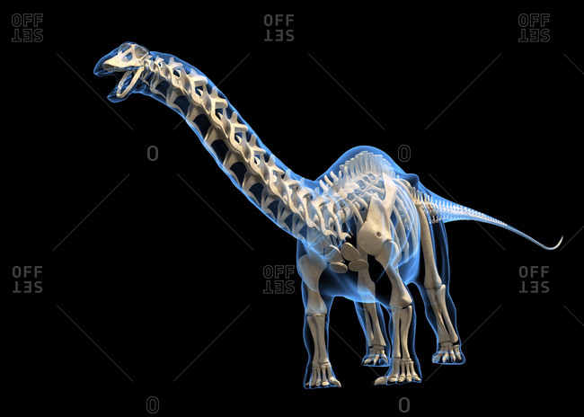 Brontosaurus skeleton against a black background