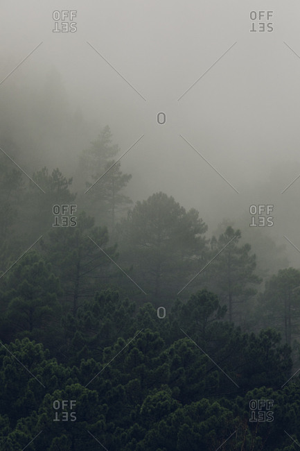 Foggy dense forest in the Pyrenees Mountains, Europe