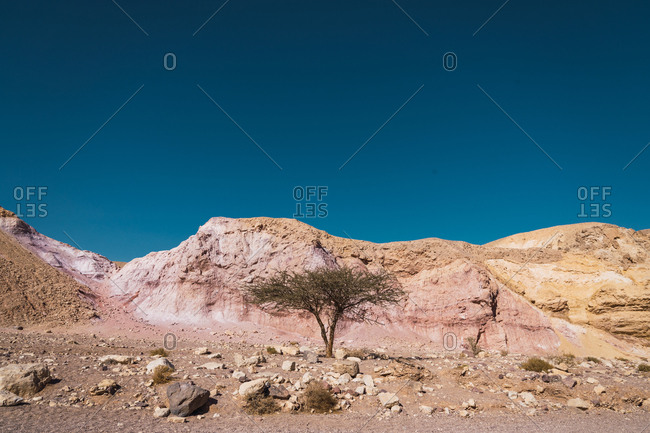 Small lonely tree growing near rough slope of Red Canyon against clear blue sky in Negev Desert
