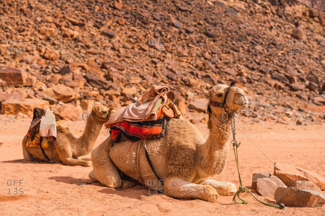 Group of camels in harness sitting on sand against rocky cliff in desert valley of Wadi Rum, Jordan