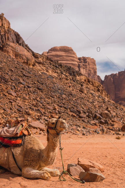 Camel with saddle sitting on sand in desert valley of Wadi Rum in sunlight, Jordan
