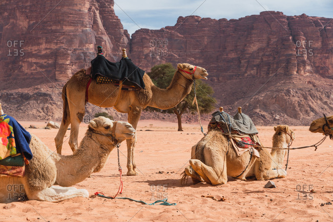 Camels with saddles resting on sand in beautiful desert valley of Wadi Rum in Jordan