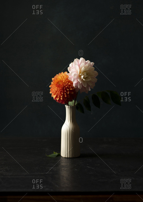 Fresh dahlias in a white striped ceramic vase