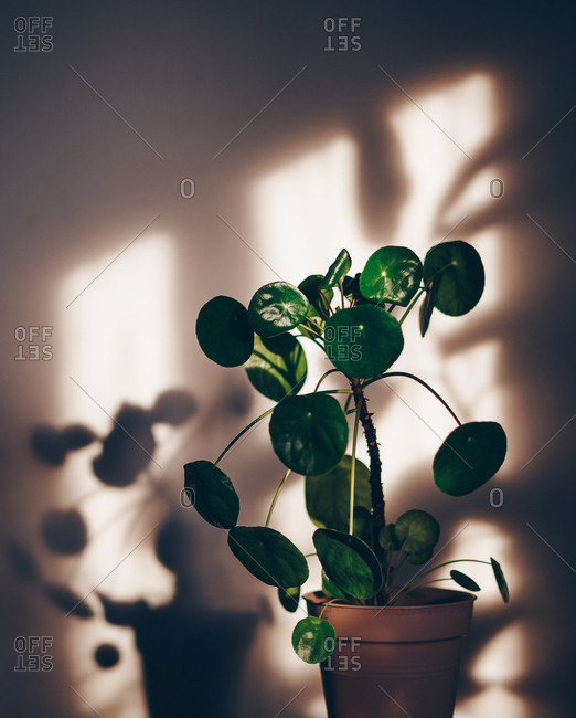 Plant and shadow in sunlight from window