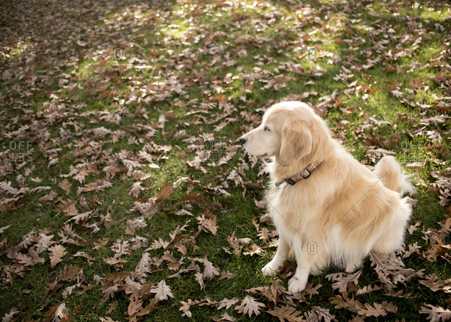 High angle view of hairy Golden Retriever looking away while sitting on field with dry leaves in park during autumn