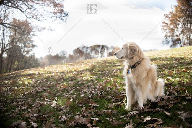 Hairy Golden Retriever looking away while sitting on field with dry leaves in park during autumn