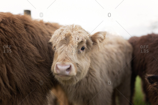 Calves standing on grassy field against clear sky