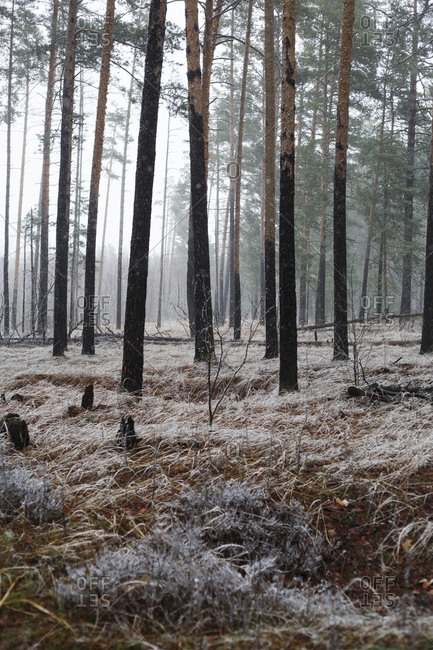Pine trees on field in forest during winter