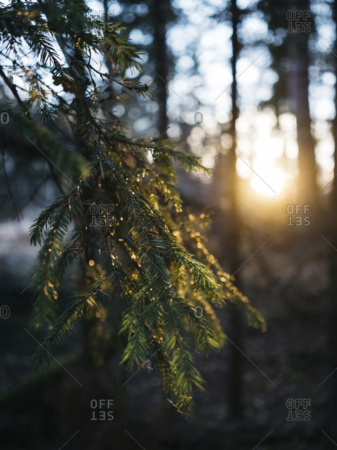 Close-up of pine tree growing in forest during sunset