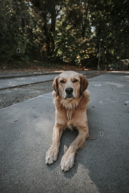 Portrait of Golden Retriever sitting on footpath against trees at park