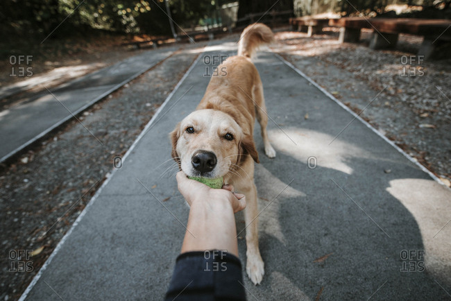 Cropped hand of woman holding ball carried by Golden Retriever in mouth while standing on footpath at park