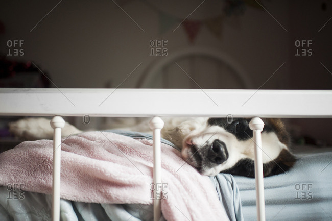 Close-up of Saint Bernard lying on bed at home