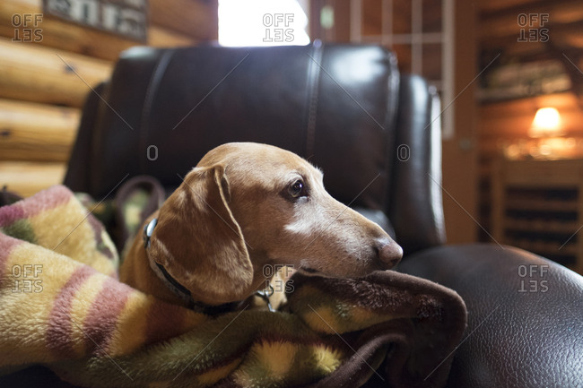 Close-up of dog looking away while lying with blanket on chair in log cabin