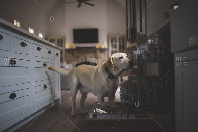 Labrador Retriever standing by dishwasher on hardwood floor in kitchen