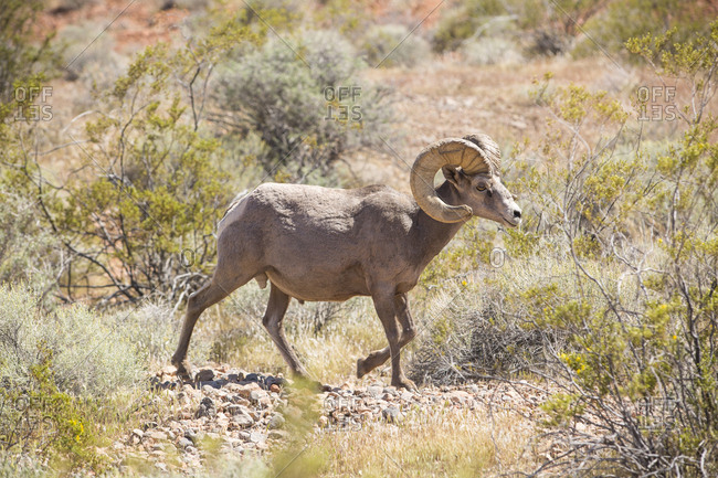 Side view of bighorn sheep walking on stones amidst plants in forest during sunny day