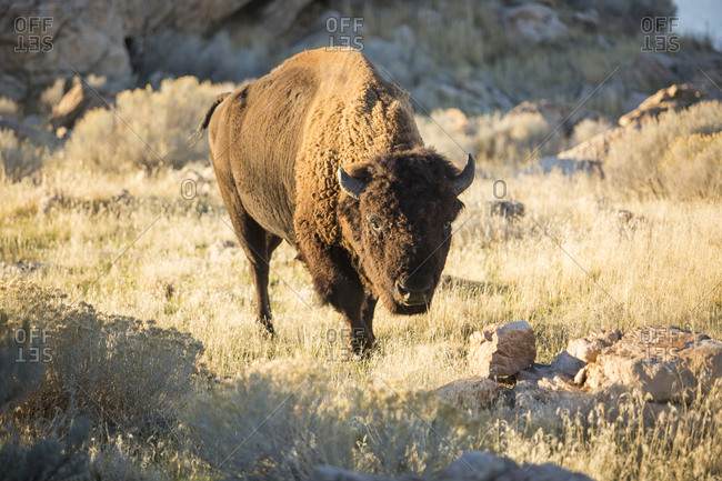 Portrait of American bison grazing on grassy field at Antelope Island State Park