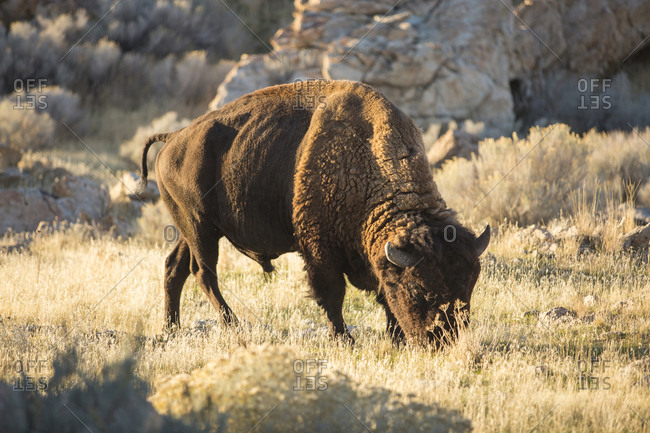 American bison grazing on grassy field at Antelope Island State Park