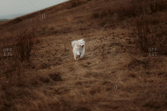 White dog running through brown field