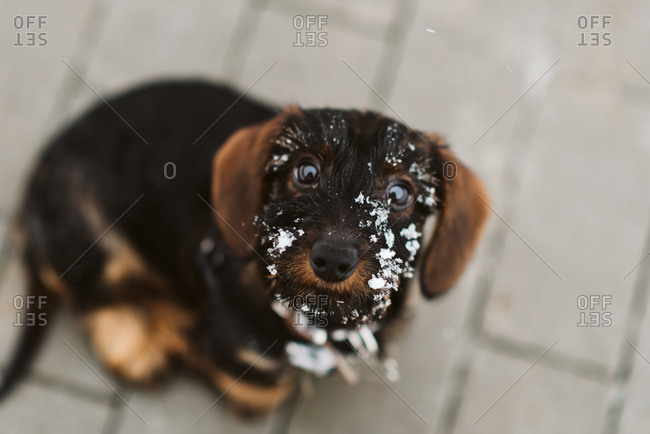 Young puppy sitting on patio with snow on its face