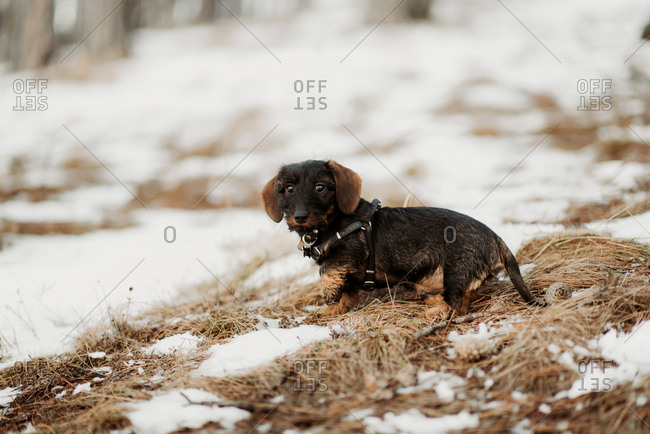 Young puppy playing in a snowy field