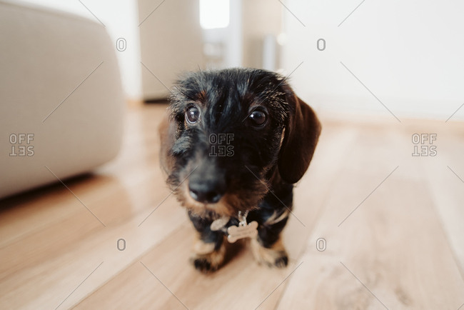 Portrait of a wirehaired dachshund