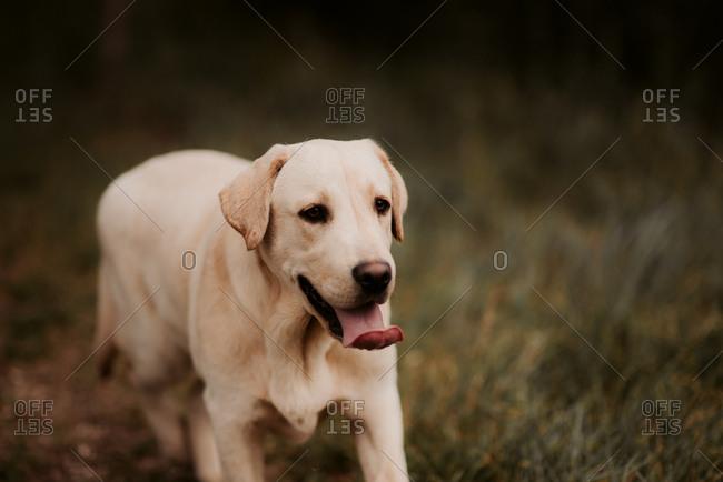 Happy young labrador retriever