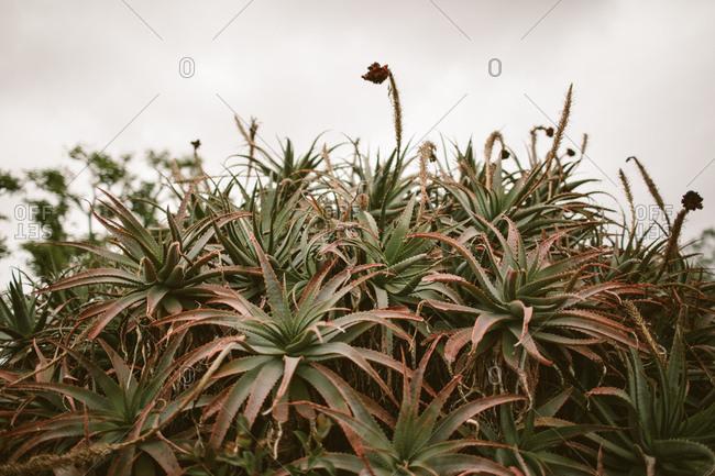 Large succulent tree with a white background