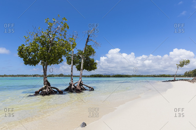 Mauritius- East Coast- Indian Ocean- mangrove tree