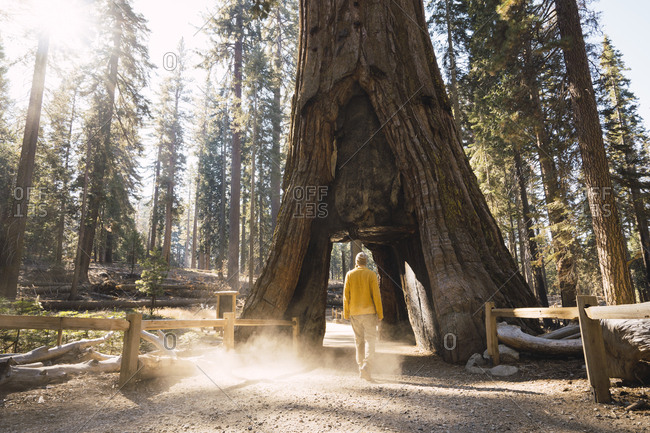 USA- California- Yosemite National Park- Mariposa- man walking through hollow sequoia tree