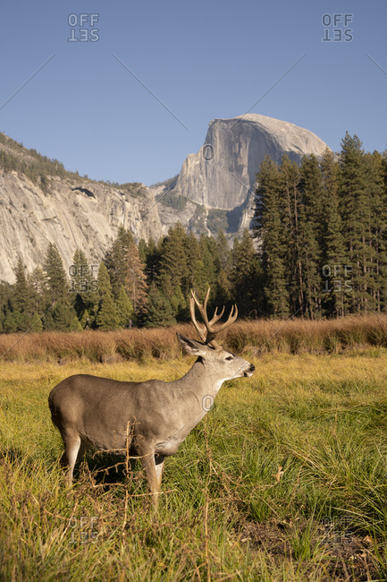 USA- California- Yosemite National Park- deer on a field with El Capitan in background