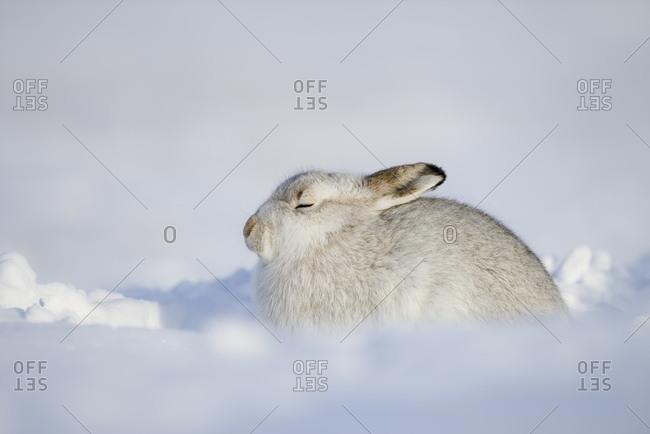 Scotland- Mountain hare- Lepus timidus