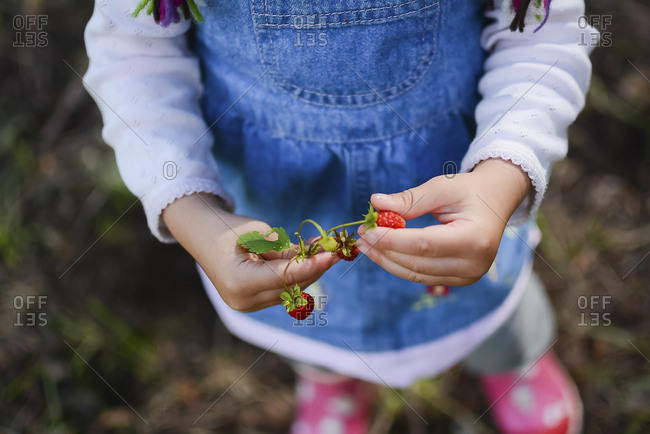 Hands of little girl holding woodland strawberries- partial view
