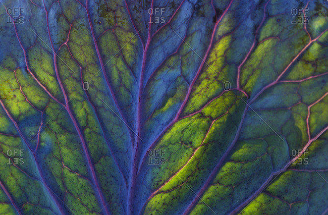 Detail of a red cabbage leaf
