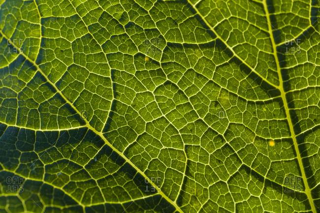 Detail of a savoy leaf
