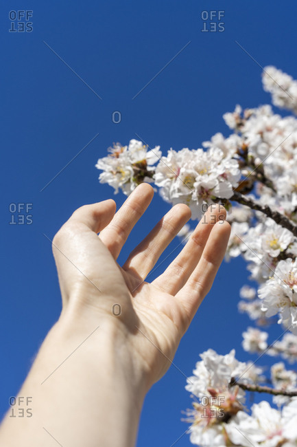 Beautiful almond  tree flowers against blue sunny sky