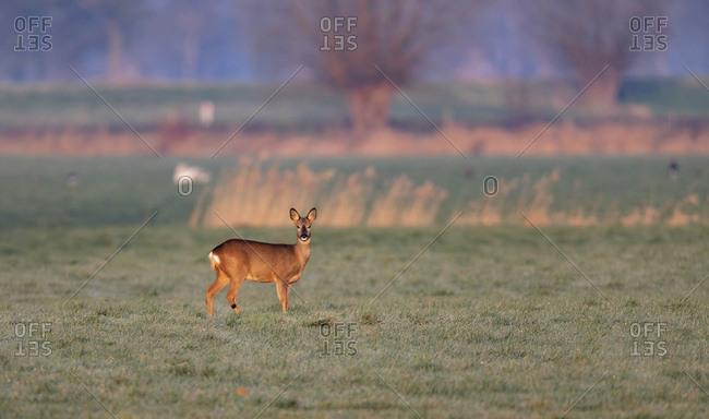 Female deer in a field