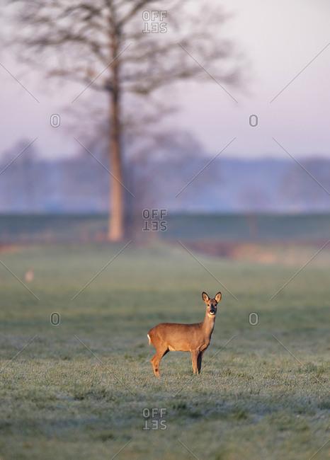 Female deer standing alone in a field