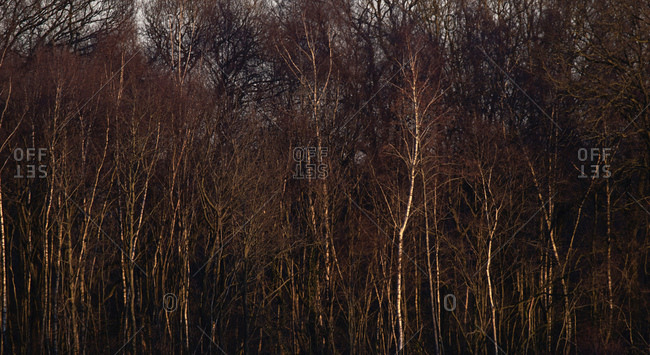 Dense bare trees in a forest at sunset